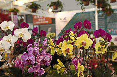 昆明国际花展下周启幕 云南鲜切花产量连续23年全国第一